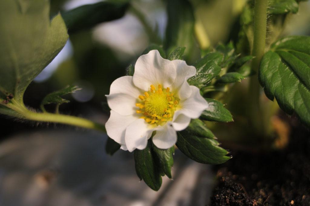 小豆島いちご 開花